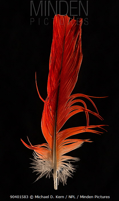 Congo African Grey Parrot (Psittacus erithacus) tail feather against black background  -  Michael D. Kern/ npl