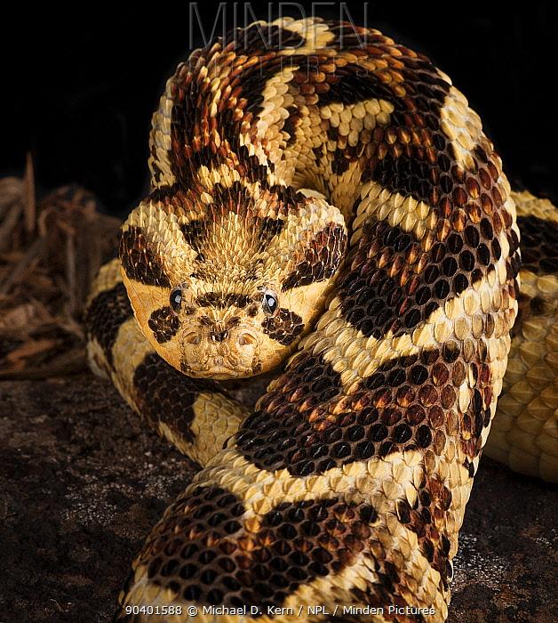 Puff Adder (Bitis arietans) captive native to Tanzania  -  Michael D. Kern/ npl