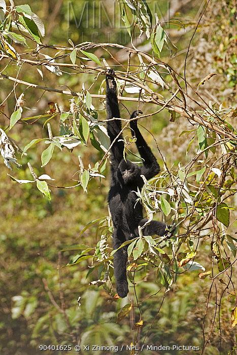 West Yunnan black-crested gibbon (Nomascus concolor furvogaster) climbing, Yunnan, China, February  -  Xi Zhinong/ npl