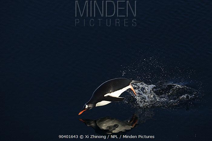 Gentoo penguin (Pygoscelis papua) porpoising through water, Antarctica  -  Xi Zhinong/ npl