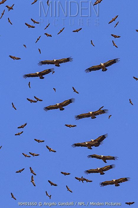 Griffon vultures (Gyps fulvus) in flight, gathering at Santa Cilia de Panzano feeding station Sierra y Canones de Guara Natural Park, Aragon, Spain, July  -  Angelo Gandolfi/ npl