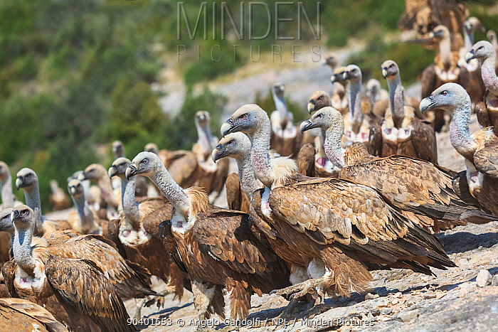 Griffon vultures (Gyps fulvus) gathering at Santa Cilia de Panzano feeding station Sierra y Canones de Guara Natural Park, Aragon, Spain, July  -  Angelo Gandolfi/ npl