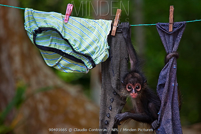 Central American spider monkey (Ateles geoffroyi) orphan hanging on washing line Baby monkey was kept as pet by workers at El Mirador base camp, after mother was killed Selva Maya Biosphere Reserve, Peten region, Guatemala Endangered species  -  Claudio Contreras/ npl