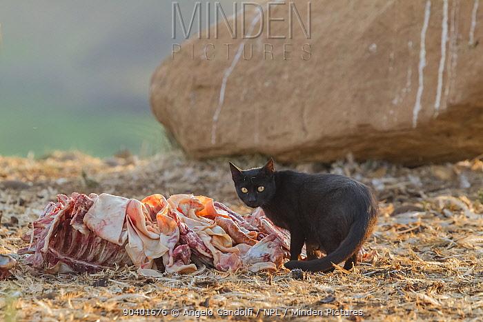 Feral cat (Felis cattus) scavenging at feeding stations for vultures Binaced, Aragon, Spain, July  -  Angelo Gandolfi/ npl
