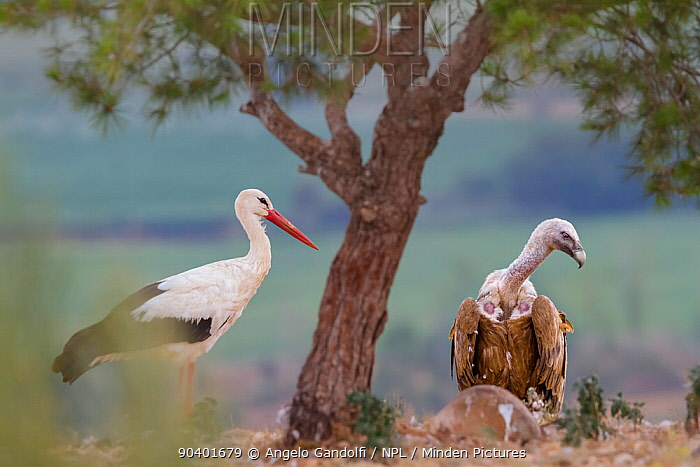 Griffon vulture (Gyps fulvus) and White stork (Ciconia ciconia) Binaced feeding station Aragon, Spain, July  -  Angelo Gandolfi/ npl