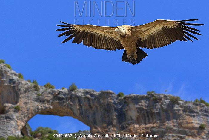 Griffon vultures (Gyps fulvus) in flight Parque Natural Sierra y Canones de Guara, Aragon, Spain, July  -  Angelo Gandolfi/ npl