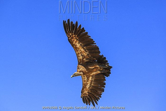 Griffon vultures (Gyps fulvus) in flight Aragon, Spain, July  -  Angelo Gandolfi/ npl