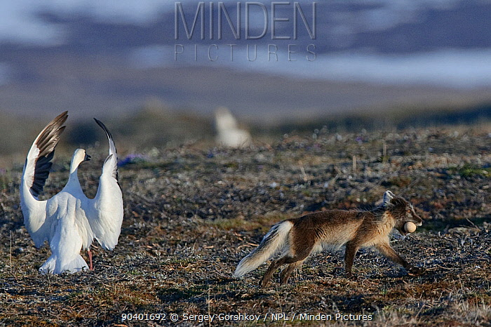 Arctic fox (Vulpes lagopus) in summer moult stealing Snow goose (Chen caerulescens caerulescens) egg, with Snow goose flapping wings can calling, Wrangel Island, Far Eastern Russia, June  -  Sergey Gorshkov/ npl