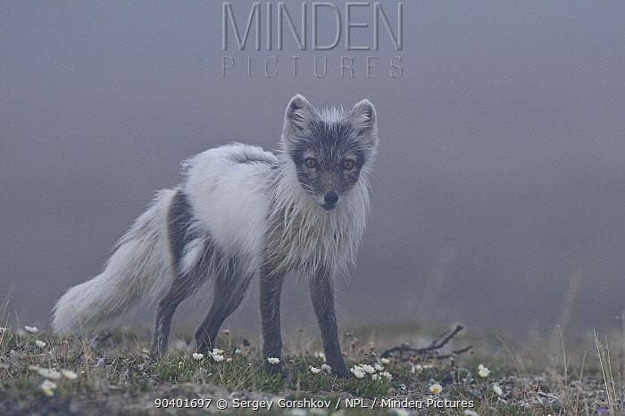 Arctic fox (Vulpes lagopus) mid moult from winter fur, standing in mist, Wrangel Island, Far Eastern Russia, June  -  Sergey Gorshkov/ npl