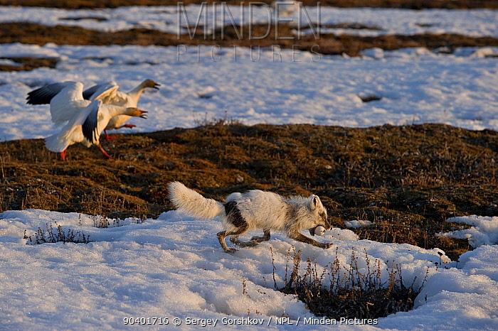 Arctic fox (Vulpes lagopus) stealing Snow goose (Chen caerulescens caerulescens) with Snow geese mobbing it, Wrangel Island, Far Eastern Russia, May  -  Sergey Gorshkov/ npl