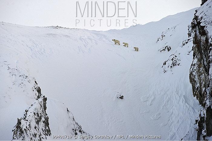 Polar bear (Ursus maritimus) mother and cubs walking on snowy slope, Wrangel Island, Far Eastern Russia, March  -  Sergey Gorshkov/ npl
