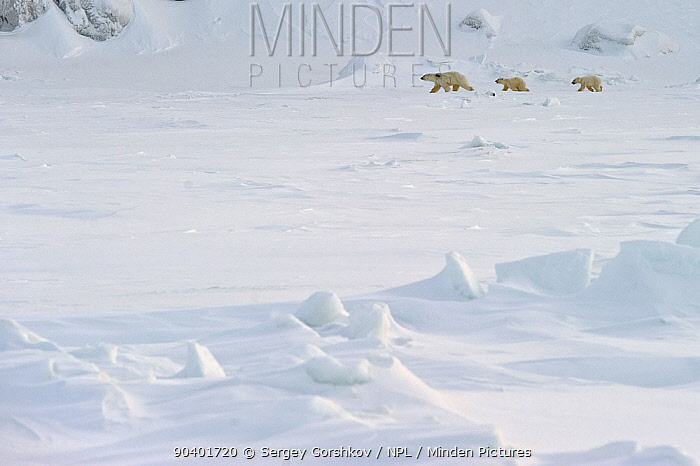 Polar bear (Ursus maritimus) mother and cubs walking in snow, Wrangel Island, Far Eastern Russia, March  -  Sergey Gorshkov/ npl