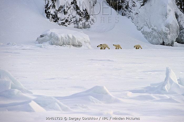 Polar bear (Ursus maritimus) mother with cubs walking through snow, Wrangel Island, Far Eastern Russia, March  -  Sergey Gorshkov/ npl