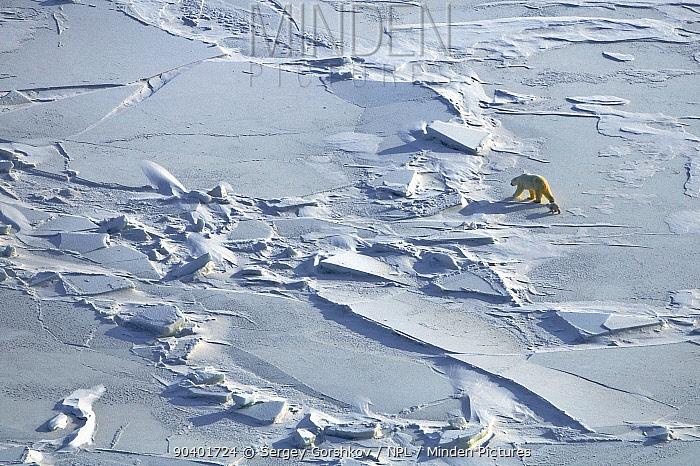 Polar bear (Ursus maritimus) with cub walking across ice field, Wrangel Island, Far Eastern Russia, March  -  Sergey Gorshkov/ npl