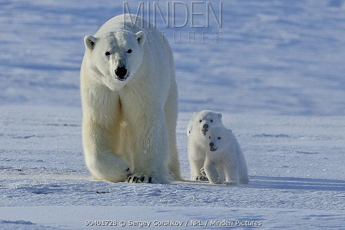 Polar bear (Ursus maritimus) mother with three very young cubs, Wrangel Island, Far Eastern Russia, March  -  Sergey Gorshkov/ npl