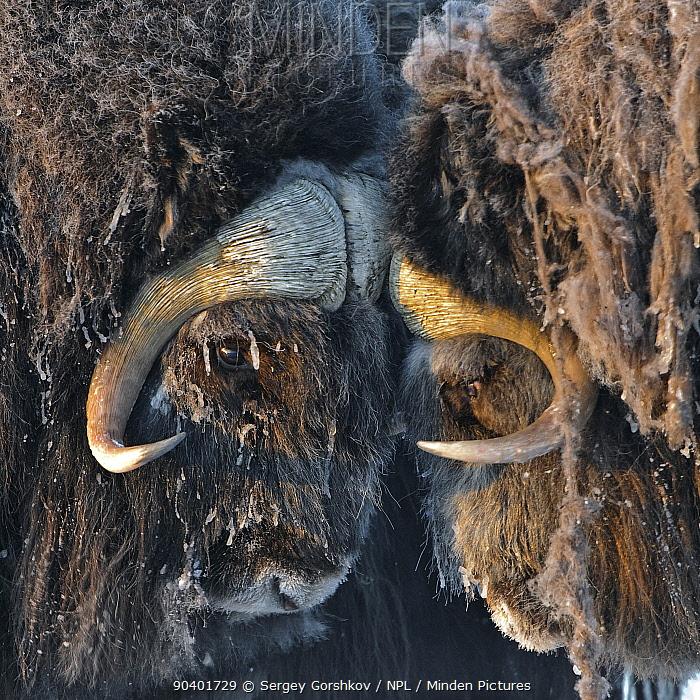 Musk ox (Ovibos moschatus) portrait, Wrangel Island, Far Eastern Russia, March  -  Sergey Gorshkov/ npl