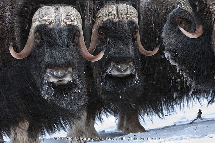 Musk ox (Ovibos moschatus) herd, Wrangel Island, Far Eastern Russia, March  -  Sergey Gorshkov/ npl