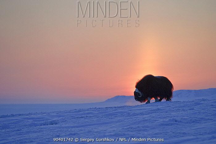 Musk ox (Ovibos moschatus) at sunset, Wrangel Island, Far Eastern Russia  -  Sergey Gorshkov/ npl