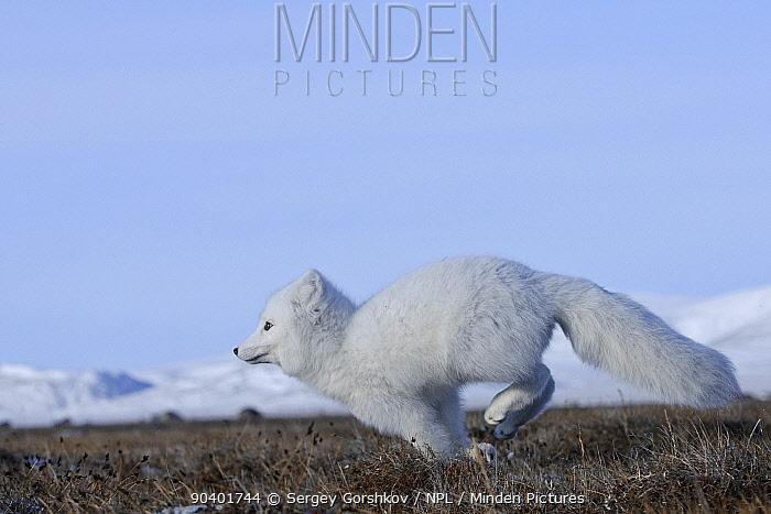 Arctic fox (Vulpes lagopus) in winter coat running, Wrangel Island, Far Eastern Russia, October  -  Sergey Gorshkov/ npl