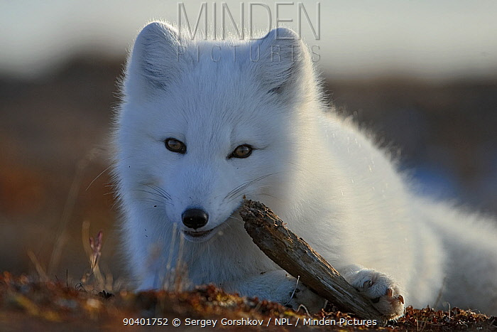 Arctic fox (Vulpes lagopus) in winter fur, playing with some wood, Wrangel Island, Far Eastern Russia, October  -  Sergey Gorshkov/ npl