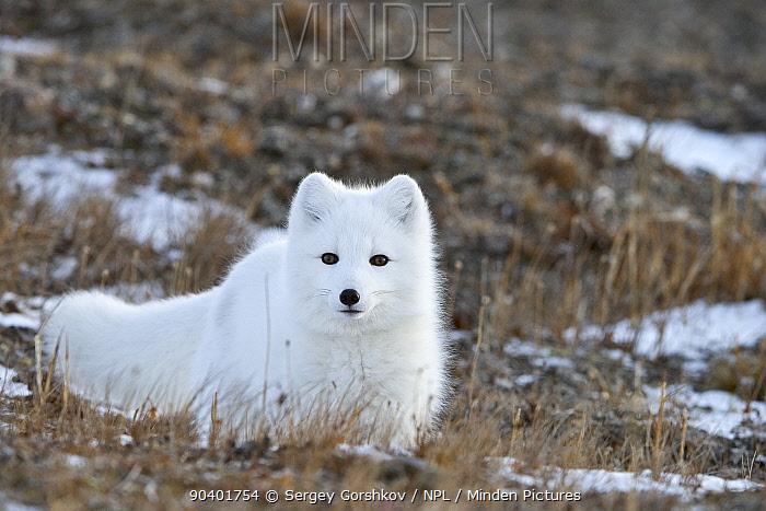Arctic fox (Vulpes lagopus) in winter fur, resting, Wrangel Island, Far Eastern Russia, October  -  Sergey Gorshkov/ npl