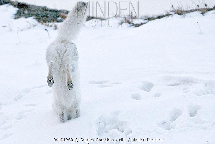 Arctic fox (Vulpes lagopus) in winter fur hunting for lemmings, Wrangel Island, Far Eastern Russia, October  -  Sergey Gorshkov/ npl