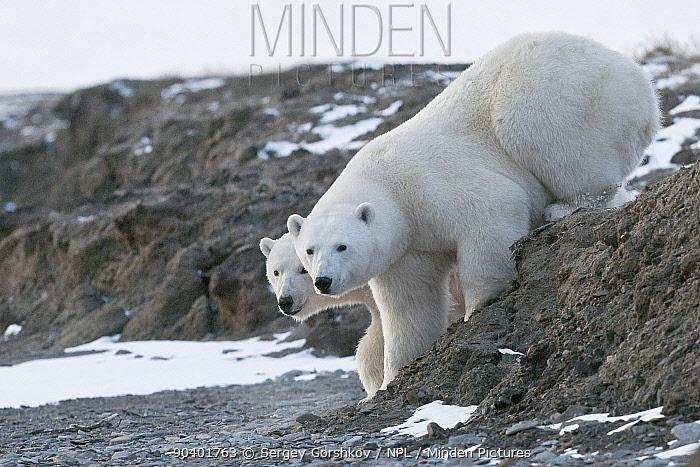 Polar bear (Ursus maritimus) two on coast, Wrangel Island, Far Eastern Russia, October  -  Sergey Gorshkov/ npl