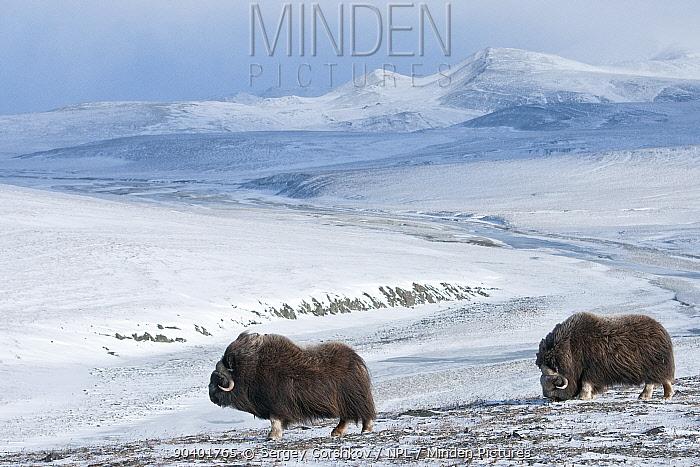 Musk ox (Ovibos moschatus) two in habitat, Wrangel Island, Far Eastern Russia, October  -  Sergey Gorshkov/ npl