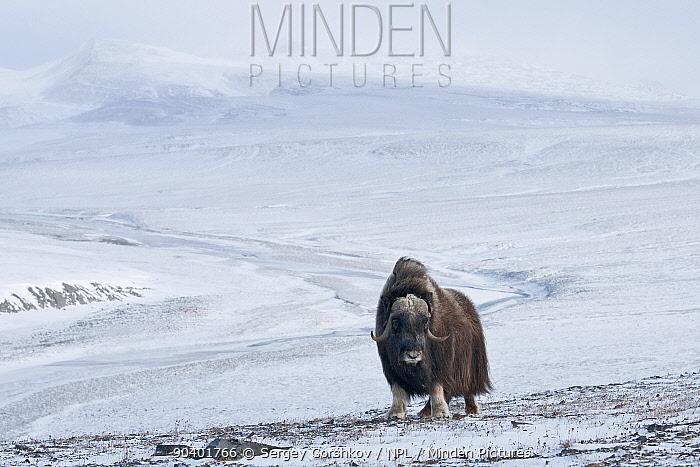 Musk ox (Ovibos moschatus) in habitat, Wrangel Island, Far Eastern Russia, October  -  Sergey Gorshkov/ npl