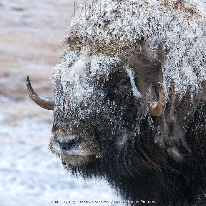 Musk ox (Ovibos moschatus) covered in snow, Wrangel Island, Far Eastern Russia, September  -  Sergey Gorshkov/ npl