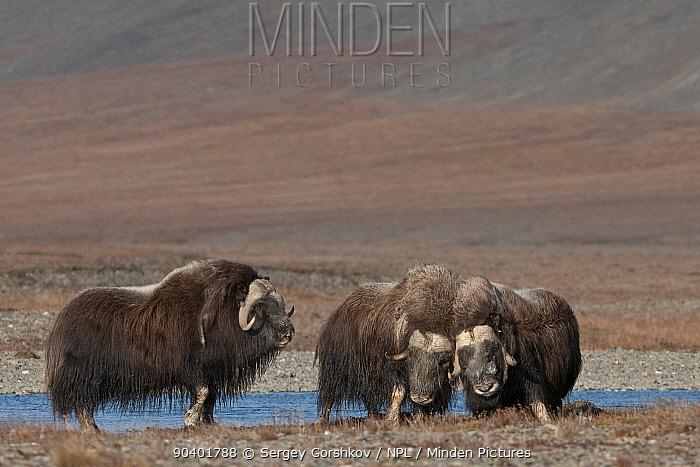 Musk ox (Ovibos moschatus) group of three, Wrangel Island, Far Eastern Russia, September  -  Sergey Gorshkov/ npl