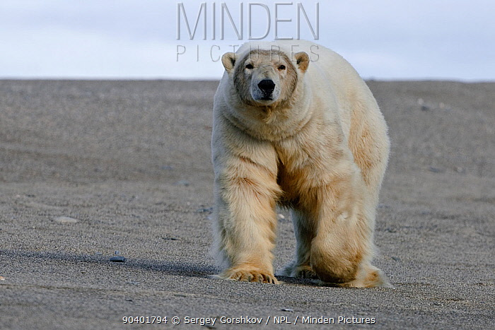Polar bear (Ursus maritimus) walking along beach, Wrangel Island, Far Eastern Russia, September  -  Sergey Gorshkov/ npl