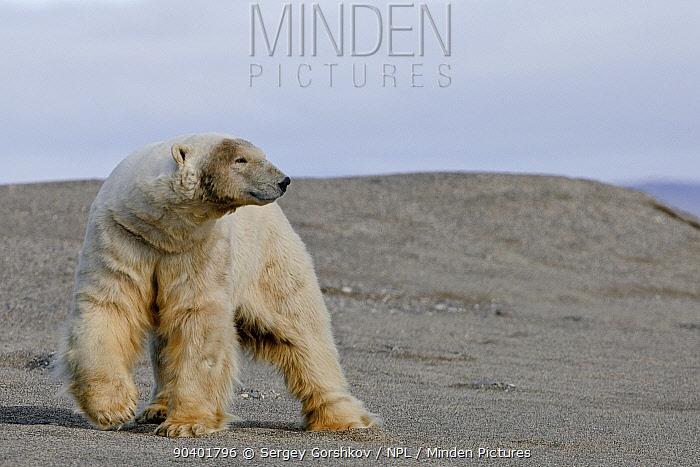 Polar bear (Ursus maritimus) walking on beach, Wrangel Island, Far Eastern Russia, September  -  Sergey Gorshkov/ npl