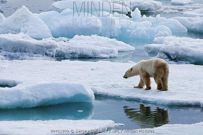 Polar bear (Ursus maritimus) on pack ice off the coast of Wrangel Island, Far Eastern Russia, September  -  Sergey Gorshkov/ npl