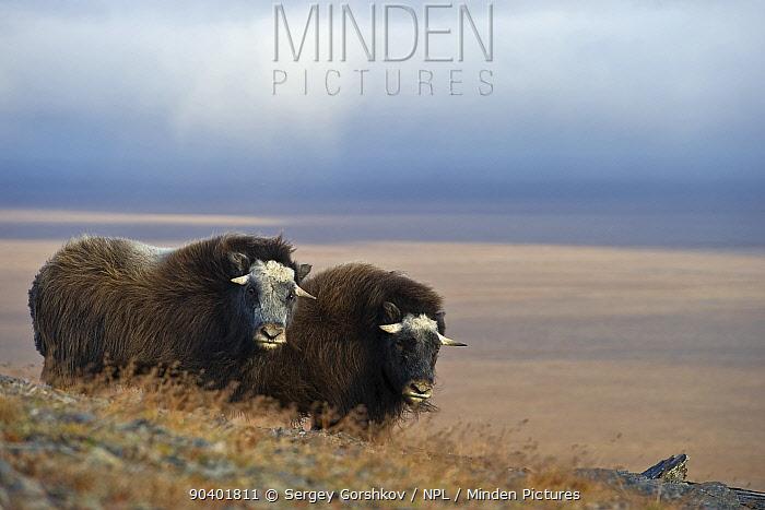 Musk ox (Ovibos moschatus) two in habitat, Wrangel Island, Far Eastern Russia, September  -  Sergey Gorshkov/ npl