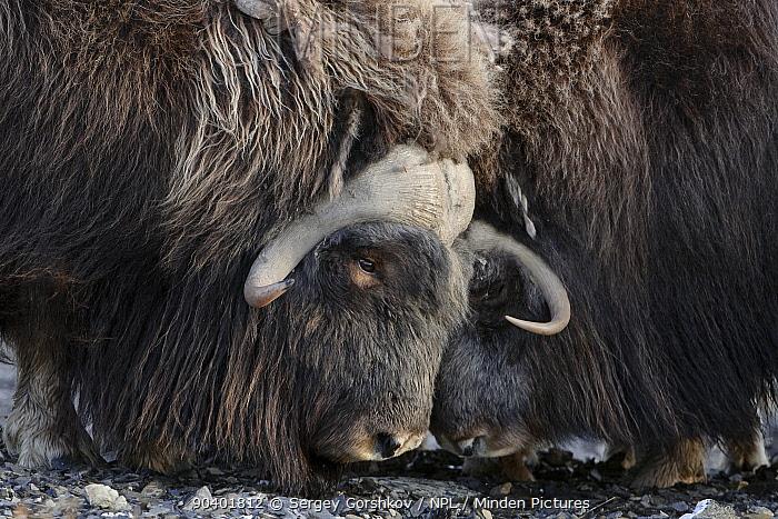 Musk ox (Ovibos moschatus) portrait, Wrangel Island, Far Eastern Russia, September  -  Sergey Gorshkov/ npl