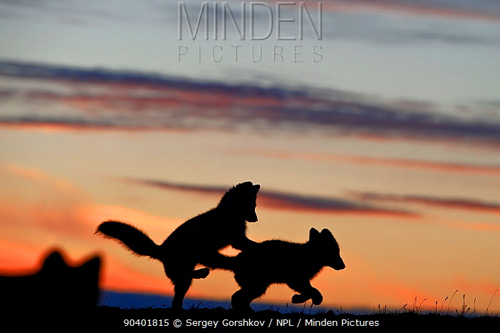 Arctic foxes (Vulpes lagopus) juveniles playing, silhouetted at sunset, Wrangel Island, Far Eastern Russia, August  -  Sergey Gorshkov/ npl