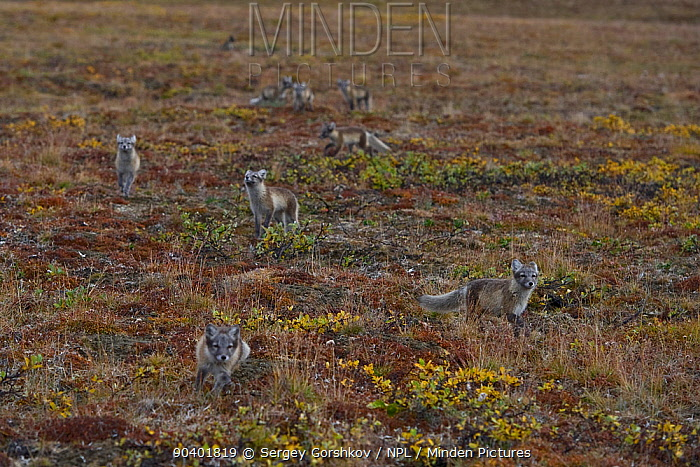 Arctic fox (Vulpes lagopus) group Wrangel Island, Far Eastern Russia, August  -  Sergey Gorshkov/ npl