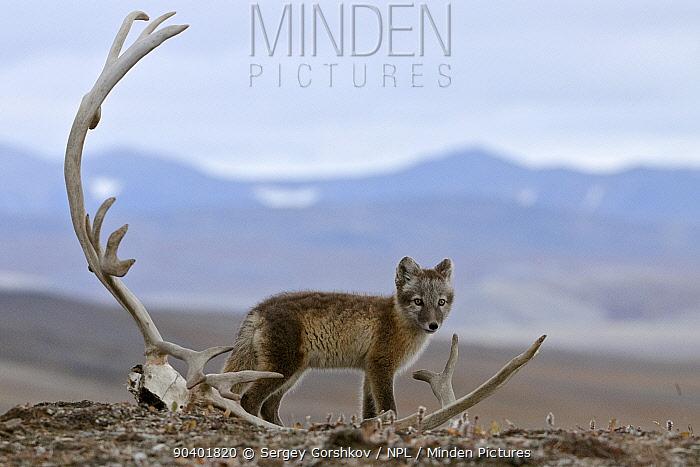 Arctic fox (Vulpes lagopus) standing with Reindeer skull, Wrangel Island, Far Eastern Russia, August  -  Sergey Gorshkov/ npl