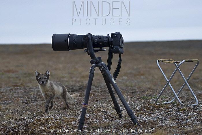 Arctic fox (Vulpes lagopus) in summer coat looking up at camera, Wrangel Island, Far Eastern Russia, August  -  Sergey Gorshkov/ npl