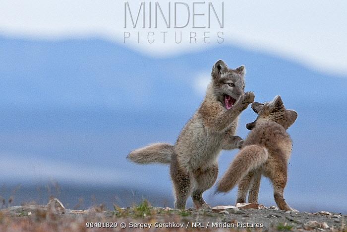 Arctic foxes (Vulpes lagopus) juveniles playing,Wrangel Island, Far Eastern Russia, August  -  Sergey Gorshkov/ npl