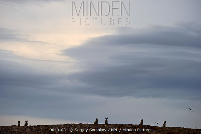 Arctic fox (Vulpes lagopus) group of six against sky, Wrangel Island, Far Eastern Russia, August  -  Sergey Gorshkov/ npl