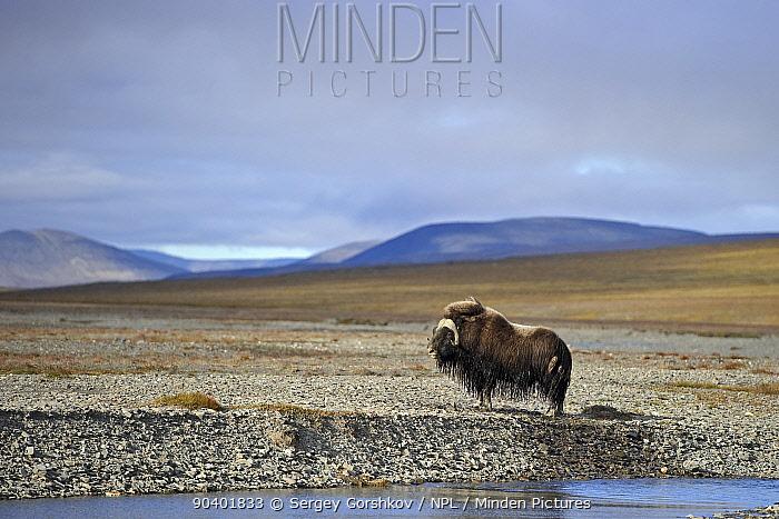 Musk ox (Ovibos moschatus) with wet fur, in habitat, Wrangel Island, Far Eastern Russia, August  -  Sergey Gorshkov/ npl