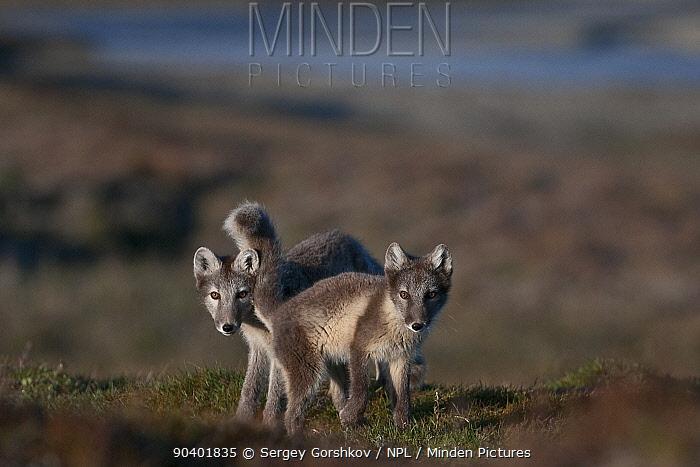 Arctic foxes (Vulpes lagopus) in summer coats, Wrangel Island, Far Eastern Russia, August  -  Sergey Gorshkov/ npl