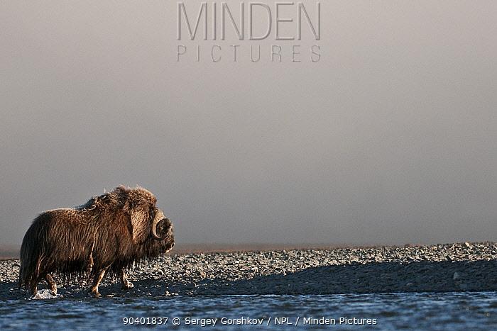 Musk ox (Ovibos moschatus) walking on coast, Wrangel Island, Far Eastern Russia, August  -  Sergey Gorshkov/ npl