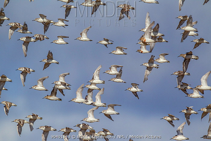 Wrybill (Anarhynchus frontalis) flock in flight at their wintering site, shortly after arriving at the end of the breeding season Miranda, Auckland, New Zealand, February Vulnerable species  -  Brent Stephenson/ npl