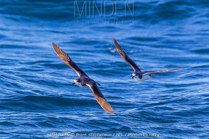 Pycrofts petrels (Pterodroma pycrofti) in flight at sea, showing the upperwing pattern Mercury Islands, Coromandel, New Zealand, February Vulnerable species  -  Brent Stephenson/ npl
