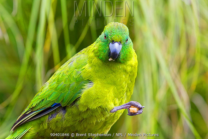Adult male Antipodes Island parakeet (Cyanoramphus unicolor) in fresh plumage, feeding Auckland Zoo, Auckland, New Zealand, February Captive, Vulnerable species  -  Brent Stephenson/ npl