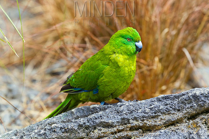 Adult female Antipodes Island parakeet (Cyanoramphus unicolor) in fresh plumage, standing on a rock with tussocks in the background Auckland Zoo, Auckland, New Zealand, February Captive, Vulnerable species  -  Brent Stephenson/ npl