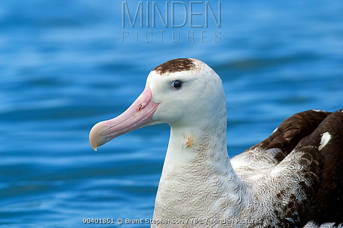 Adult New Zealand albatross (Diomedea antipodensis) sitting on the water This is the Antipodean subspecies Kaikoura, Canterbury, New Zealand, December Vulnerable species  -  Brent Stephenson/ npl